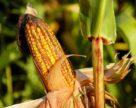 Кукурузный провал этого сезона подтолкнет украинских аграриев к новым технологиям