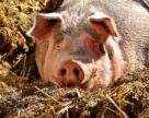 В KSG Agro выручка от продажи свиней впервые превысила доход от растениеводства