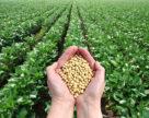 Українським агровиробникам варто замислитися над розширенням посівів під соєю,