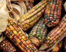 Американські учені вивели стійку до посух кукурудзу