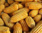 Цены на кукурузу в США достигли максимума 5 февраля 2021 года