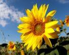 Пшениця, олія соняшникова та інші товари заборонені до ввезення до Україні з Росії